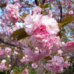 MoBot-Cherry-Blossom